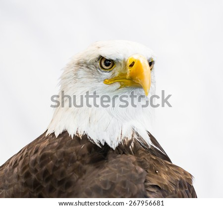 American Eagle / Bald Eagle  - stock photo