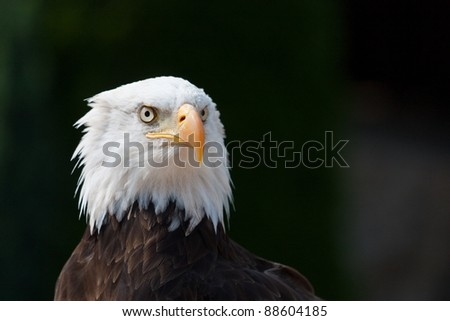 American eagle portrait with dark background - stock photo