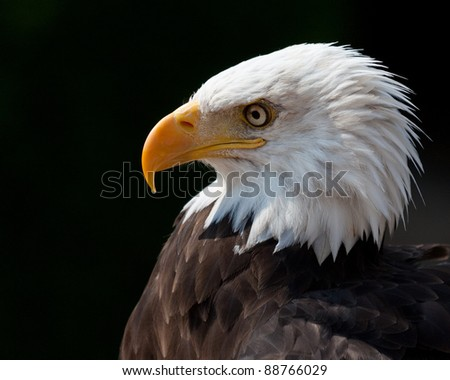 American eagle portrait with dark background. Side view. - stock photo