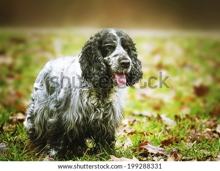 american english cavalier king charles spaniel outdoors - stock photo
