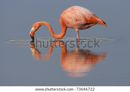 American Flamingo (Phoenicopterus ruber) foraging in a pond on Floreana Island, Galapagos. - stock photo