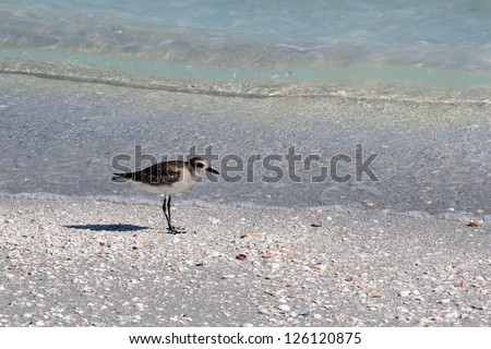 American Golden Plover (Pluvialis dominica) on a beach on Sanibel Island, Florida - stock photo