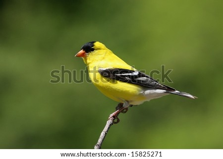 American Goldfinch - stock photo
