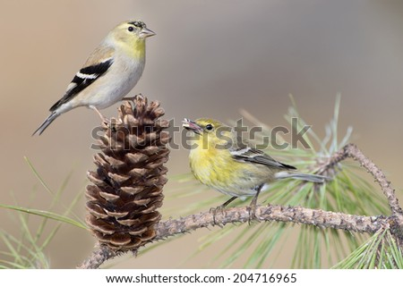 American Goldfinch and Pine Warbler in Pine Tree - stock photo