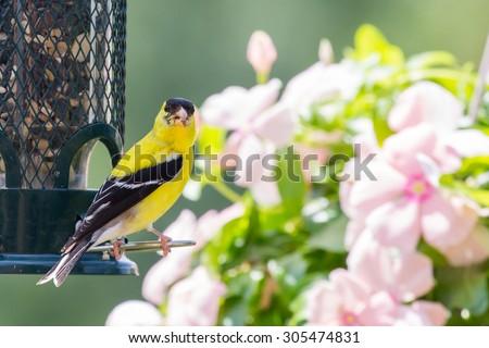 American Goldfinch by a Bird Feeder - stock photo