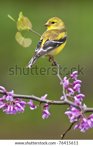 American Goldfinch (Carduelis tristis) perching on Redbud tree. - stock photo
