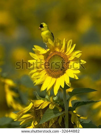 American Goldfinch on Sunflower (Carduelis tristis) - stock photo