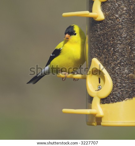 American Goldfinch perched on a bird feeder.