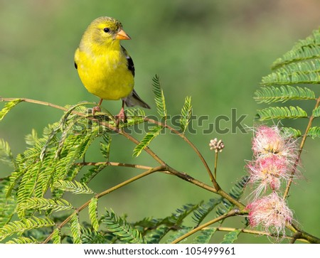 American Goldfinch perched on a branch with a greenish background - stock photo