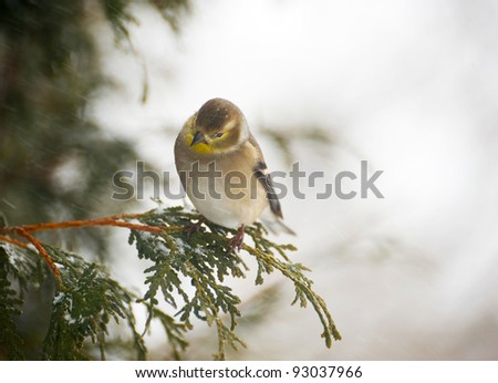 American goldfinch perched on a cedar branch in the winter during a snowstorm. - stock photo