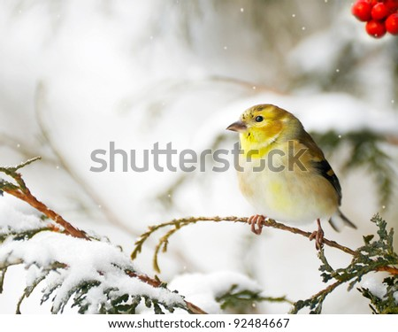 American goldfinch perched on a cedar branch in the winter, with red berries and snow.. - stock photo