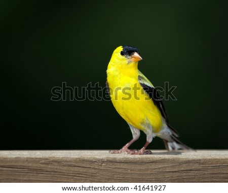 American Goldfinch perched on a deck rail with a dark background