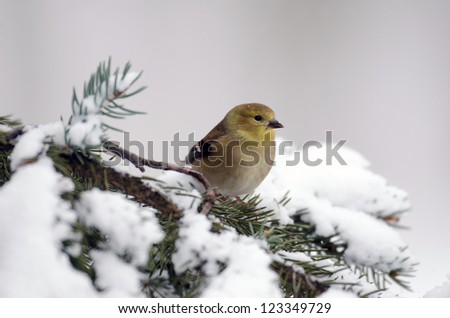 American goldfinch perched on a evergreen branch following a heavy winter snow storm - stock photo