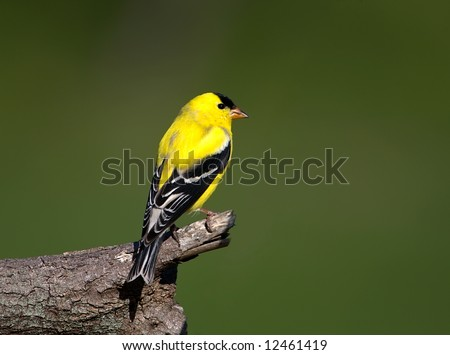 American Goldfinch perched on a log with a green background.