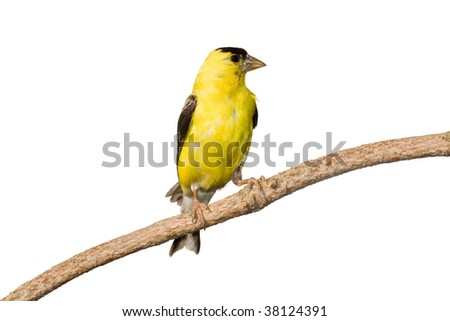 american goldfinch profiles his yellow plumage while at rest on a branch. white background