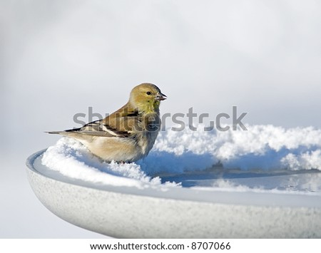 American Goldfinch sits on a heated birdbath.