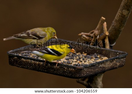 American Goldfinch (Spinus tristis), adult male breeding at a bird feeder. - stock photo