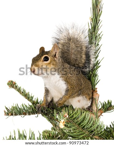 American gray squirrel on top of a spruce tree - stock photo