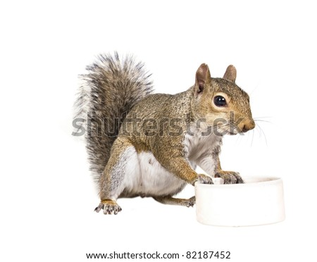 American gray squirrel rests on a white saucer - stock photo
