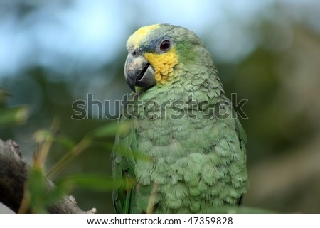 American green parrot