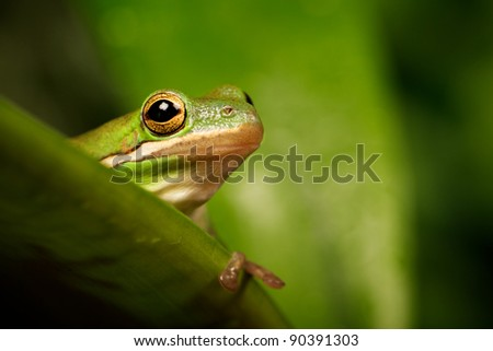 American green tree frog - stock photo