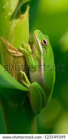 American Green Tree Frog clings to a plant stalk in the garden among lush green leaves.