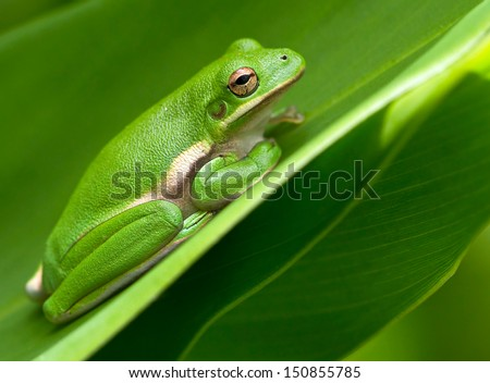 American Green Tree Frog rests between on a leaf in a garden.