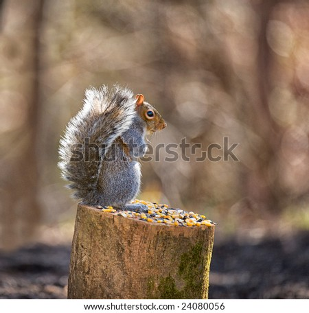 American grey squirrel standing alertly on log
