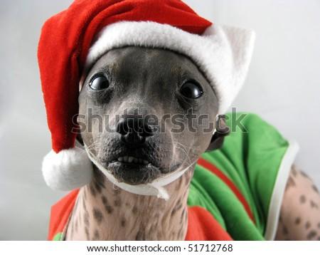 American Hairless Terrier - stock photo