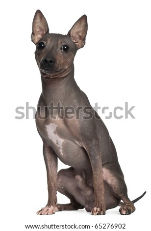 American Hairless Terrier, 6 months old, sitting in front of white background - stock photo