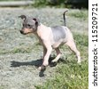 American Hairless Terrier puppy - stock photo