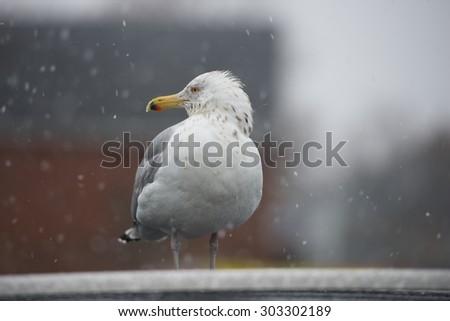 American Herring Gull in Rain and Snow (Rockport, Massachusetts, USA / February 15, 2014) - stock photo