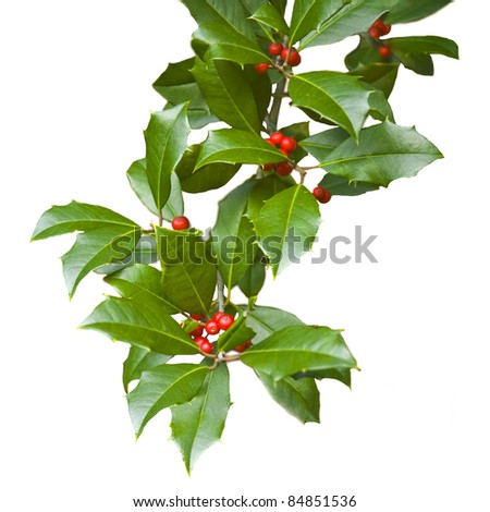 American holly branch sprig (iilex opaca) with leaves and berries isolated on white for Christmas. The female holly tree has red berries. - stock photo