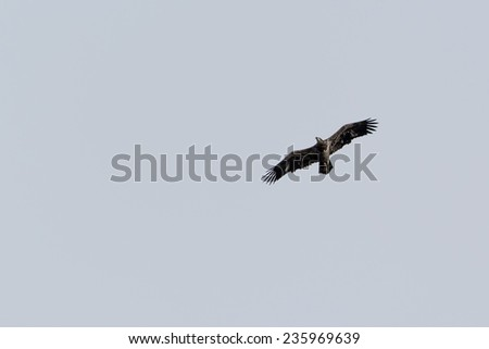 American Juvenile Bald Eagle hunting over winter season - stock photo
