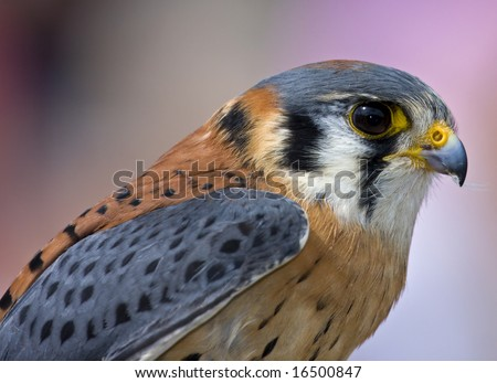 American kestrel - stock photo
