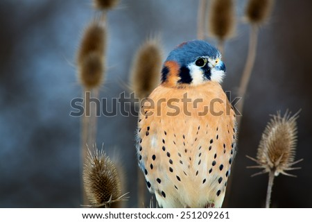 American Kestrel - Adult male - A very small type of falcon sits among brush in a winter scene - stock photo