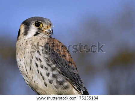"American Kestrel (Falco sparverius) known in North America as the ""Sparrow Hawk"" with great background"