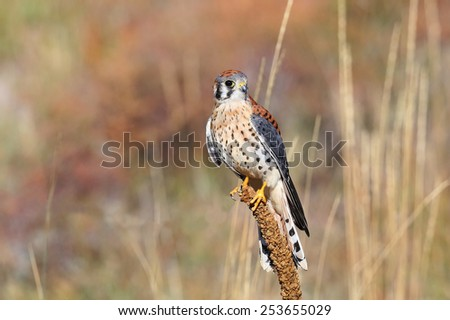 American kestrel (Falco sparverius) sitting on a mullein - stock photo