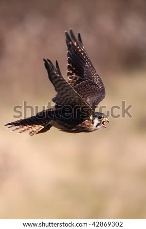 American Kestrel in flight. - stock photo
