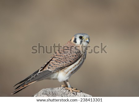 American Kestrel on post at Bosque del Apache National Wildlife Refuge, San Antonio, New Mexico  - stock photo