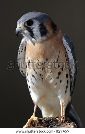 American Kestrel perched on a log. - stock photo