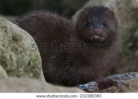 American Mink looking out from the rocks. - stock photo
