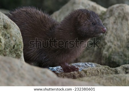 American Mink looking out from the rocks.