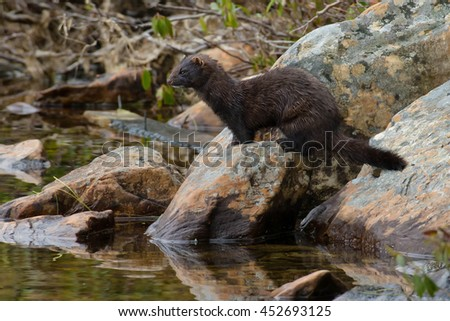 American Mink standing on a rock looking into the water for s meal.