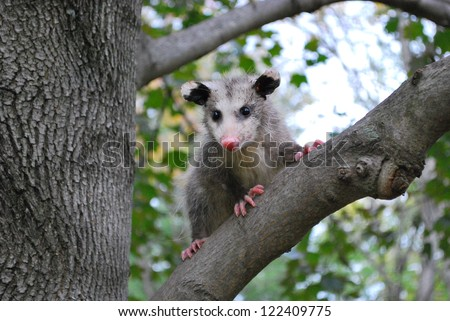 American Opossum in a Tree - stock photo
