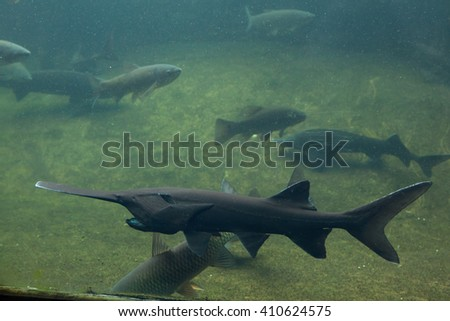 American paddlefish (Polyodon spathula). Wild life animal.  - stock photo