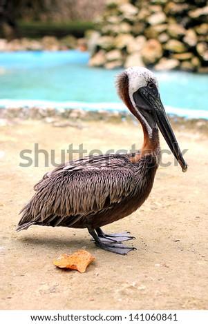 American pelican - stock photo