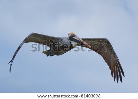 American Pelican in flight - stock photo