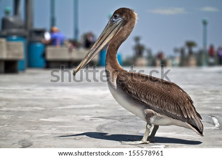 American pelican standing on a pier - stock photo