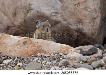 American Pika (Ochotona princeps) - peering out from its rock burrow - Jasper National Park, Canada - stock photo